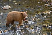 Black bears fish for kokanee salmon at Taylor Creek nature area on the south shore of Lake Tahoe
