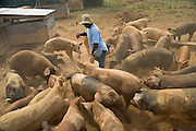Pigs are fed at Faith Farm in Green Bay, VA. All of the animals at Faith Farm are free range, and most are literally not fenced in. The owners focus on providing healthy meat that is humanely and sustainably raised