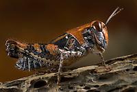 Grasshopper (Caelifera), Southwest Alentejo and Vicentine Coast Natural Park, Portugal