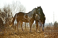 Two horses nuzzle against each other in a corral on the Rathdrum Prairie off of Chase Road during the morning sunlight Monday.