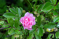 "The Polyantha Rose ""The Fairy"" blooming"
