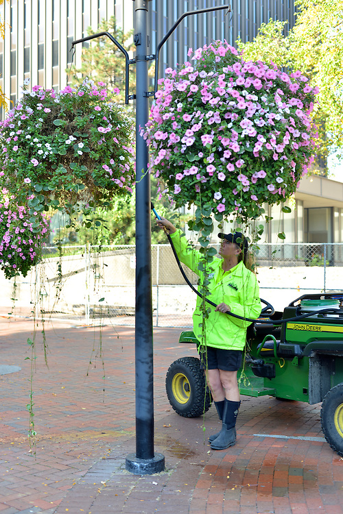 A Downtown Akron Partnership cleaning & safety ambassador watering hanging flower pots.