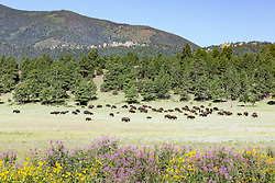 American bison herd in meadow behind Rocky Mountain beeplant and other wildflowers, Vermejo Park Ranch, New Mexico, USA.