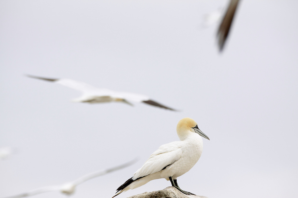 Gannets ( Sula bassana) Saltee Islands Ireland