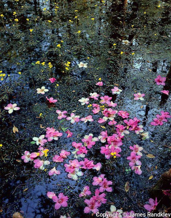 Azalea blossoms among bladderwort wildflowers.