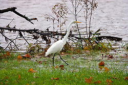 30 October 2009: A great Egret stands in the water among the grass at the edge of Dawson Lake inside Moraine View State Park near LeRoy Illinois (Photo by Alan Look)