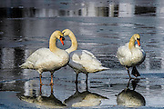 Trio of Mute Swans - Cygnus olor standing on water which is on top of ice