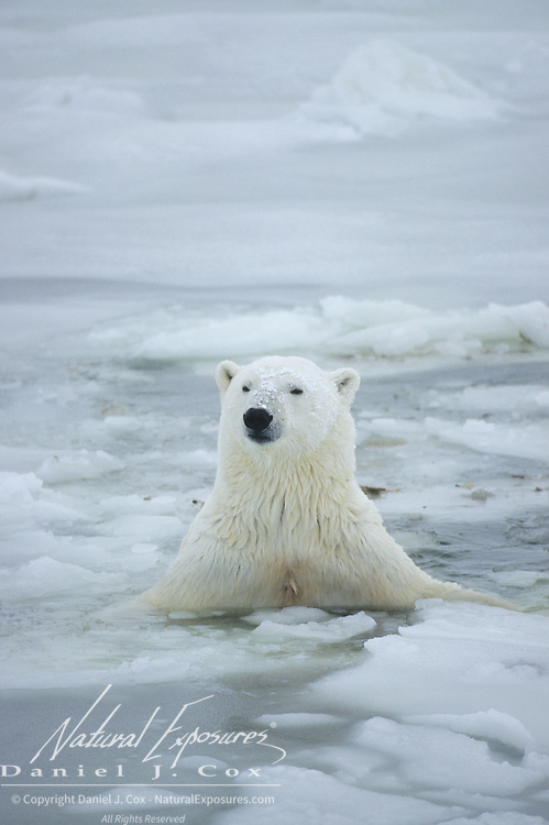 Polar Bear swimming in the slushy waters of the semi-frozen Hudson Bay, Canada.