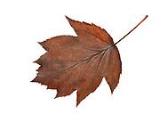 Wild Service Tree - Sorbus torminalis<br /> autumn leaf colour