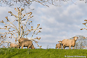 Ewes and lambs in the pasture behind the Colonial Garden at Colonial Williamsburg.