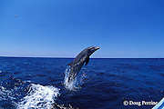 bottlenose dolphin, Tursiops truncatus (c-r)<br /> jump sequence (#1 of 4)<br /> Roatan, Honduras ( Caribbean Sea )