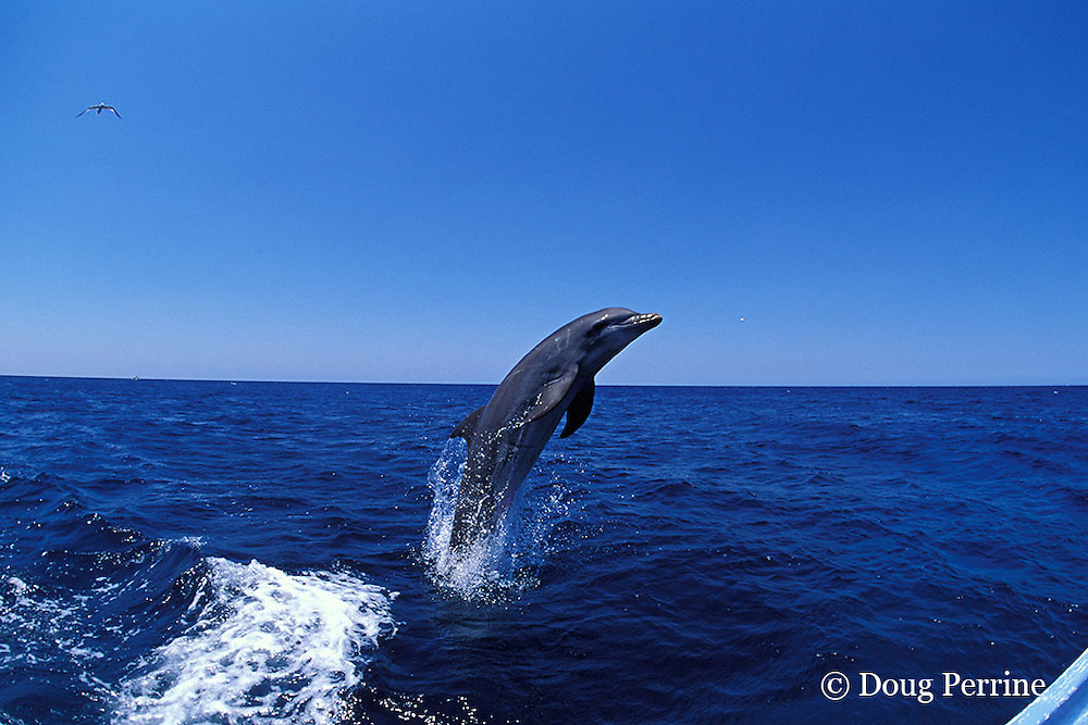 bottlenose dolphin, Tursiops truncatus (c-r)<br /> jump sequence (#1 of 4)<br /> Roatan, Honduras ( Caribbean Sea )