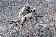 Grey langur (Semnopithecus dussumieri) grooming in the  Jawai area, Rajasthan, India.