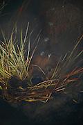 Beaver, Castor canadensis; swimming underwater, carrying grass, pond, tundra, taiga, summer, Denali National Park, Alaska, ©Craig Brandt, all rights reserved; brandt@mtaonline.net