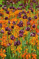 Tulipa 'Black Hero' with wallflower Erysimum 'Fire King'