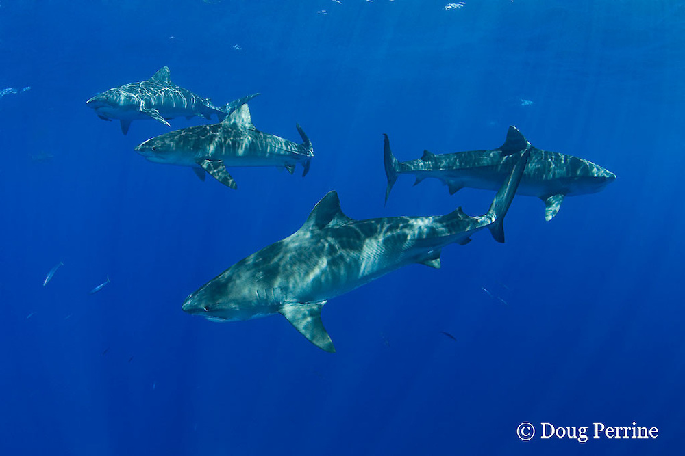 tiger sharks, Galeocerdo cuvier, North Shore, Oahu, Hawaii, USA ( Central Pacific Ocean )