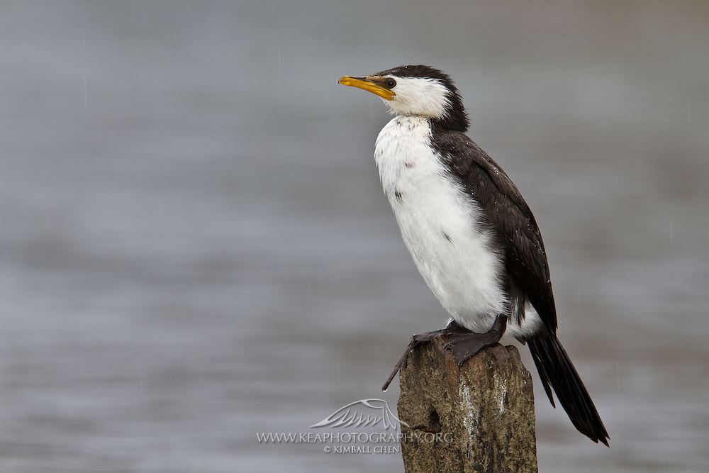 Little Shag, New Zealand