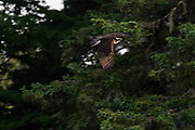 Osprey photographed during the season run of alewife on Somes Sound, Mount Desert Island, Maine