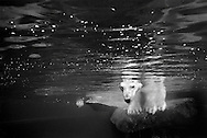 Deutschland, DEU, Stuttgart, 2000: Ein Eisbär (Ursus maritimus) steht auf einem Felsen und schaut unter Wasser, Tierpark Wilhelma. | Germany, DEU, Stuttgart, 2000: Polar bear, Ursus maritimus, standing on a rock, looking under water, Tierpark Wilhelma, Stuttgart.| Credit: animal-affairs.com - [(c) Heidi u. Hans-Juergen Koch - Scheffelstr. 48 - D-79102 F r e i b u r g - phone: +49 761 8814632 - www.animal-affairs.com - e-mail: koch@animal-affairs.com - B a n k: K r e i s s p a r k a s s e  H a l l e (Westf.)         BLZ 48051580  Konto 14001036     IBAN: DE 73480515800014001036  SWIFT-BIC: WELADED1HAW - www.freelens.com/clearing, Veroeffentlichung nur gegen Honorar, Urhebervermerk und Belegexemplar, Honorarabrechnung nach MFM]            [#0,26,121#]