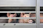 Nederland, Ubbergen, 7-5-2015Langs een doodlopende weg staat een aanhanger met varkens geparkeerd. Hij is weggezet door een transporteur om later verder vervoerd te worden naar zijn eindbestemming, het slachthuis, slachterij.The Netherlands. Pigs in a lorry, truck, on their way to the slaughterhouse.Foto: Flip Franssen