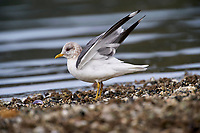 Mew Gull (Larus canus), Brickyards Beach, Gabriola Island , British Columbia, Canada   Photo: Peter Llewellyn
