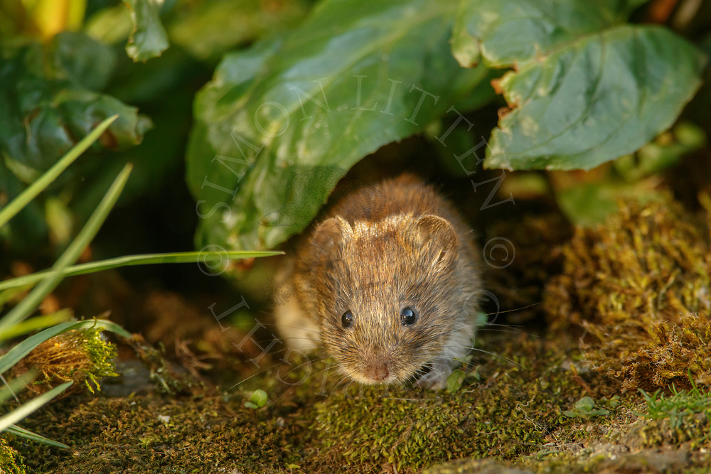 Bank Vole (Clethrionomys glareolus) adult emerging from undergrowth, South Norfolk, UK. April.