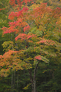 Maple trees dilpaying fall foliage, Vermont