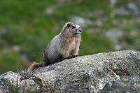 Hoary marmot (Marmota caligata)  sitting on rock. Easy Pass North Cascades