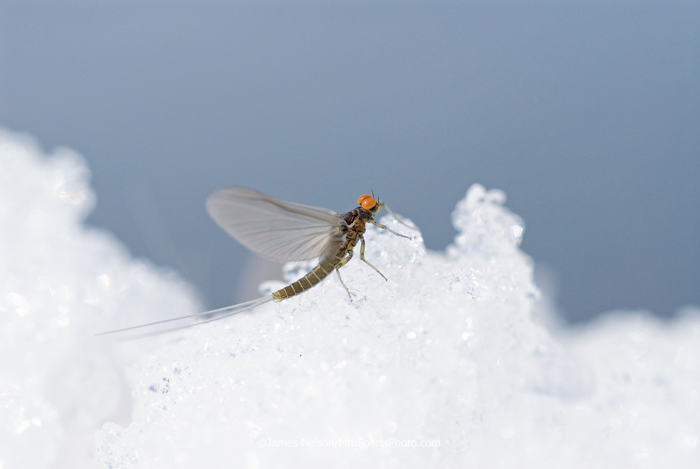 A baetis fly (a.k.a., blue-winged olive) crawls on snow during a spring day along the Henry's Fork of the Snake River, Idaho.