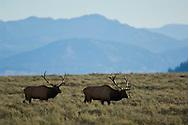 Bull Elk, Grand Teton National Park, Wyoming