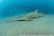 The critically endangered Small Tooth Sawfish, Pristis pectinata, gather offshore the Florida coastline on deep, silty reefs during winter. This species' population has declined by more than 95% due to the destruction and alternation of coastal habitats such as mangroves and the use of nets, which easily trap these giant fish. Historically ranging from the Carolinas to Texas, the species exists only in Florida nowadays, where it's protected and considered stable.