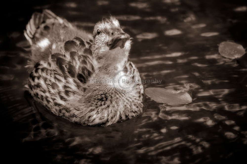 Close-up of young Mallard duck in water