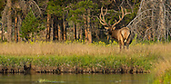 A massive bull elk, pauses for a moment before heading into the trees.  During summer, bull elk often gather in meadows in the evening and early morning to feed. Once the temperature begins to rise, these bulls then retreat to the shade of the forest to wait out the heat of the day.