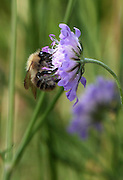 A bumble bee enjoying the nectar of our native Small Scabious (Scabiosa columbaria) in an English wildflower meadow.<br />