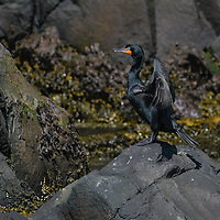 Double-crested cormorant (Phalacrocorax auritus) in the Bay of Fundy, Canada.