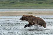 A Brown bear chases salmon in the lower lagoon at the McNeil River State Game Sanctuary on the Kenai Peninsula, Alaska. The remote site is accessed only with a special permit and is the world's largest seasonal population of brown bears in their natural environment.