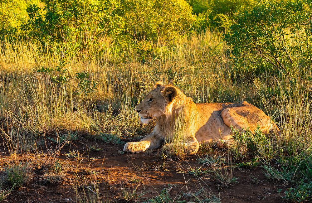 A young lion lies in wait in the African bush.