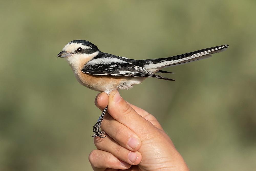 Masked Shrike Lanius nubicus ringed for biometric measurements at Eilat, Israel.