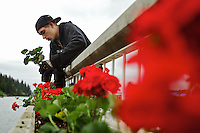 Anthony Olson plants a row of geraniums in the planter boxes above the Third Street dock Tuesday as The Coeur d'Alene Resort was landscaped with thousands of the red flowers in preparation for the summer season.