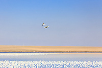 March 22, 2015 - Tyrell Lake was temporarily home to many thousands of Snow Geese during the annual spring Snow Goose migration. The Geese were on their way through Alberta to the nesting grounds on the Arctic tundra.<br /> <br /> ©2015, Sean Phillips<br /> http://www.RiverwoodPhotography.com