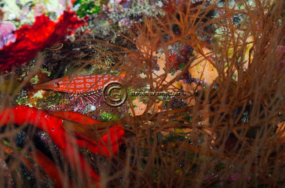 Longnose Hawkfish, Oxycirrhites typus, Molokini Crater, Maui Hawaii