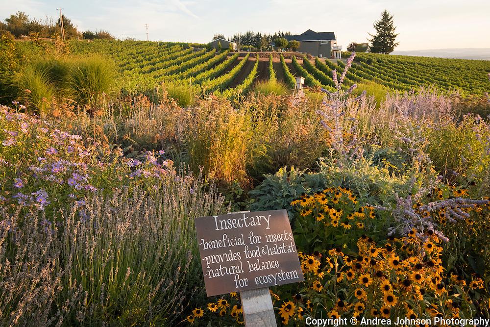 Clay pickingn fresh produce in Brooks Estate garden, Eola-Amity Hills,  Willamette Valley, Oregon