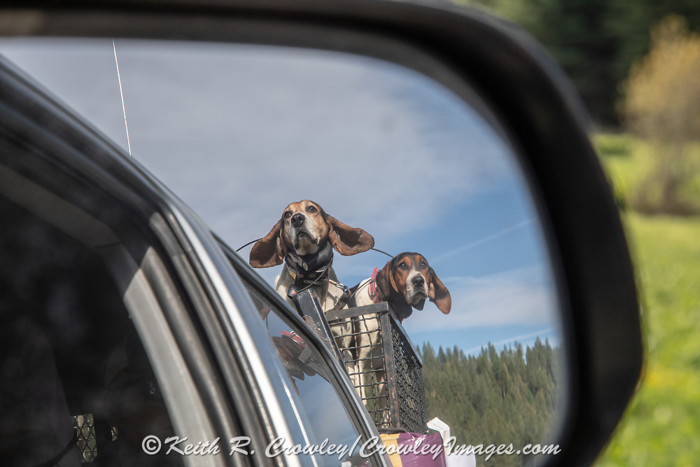 White Dog's Walker coonhounds during a 2019 Idaho spring black bear hunt