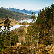 Horses are seen along the Hardanger National Tourist Route, near the village of Herand in Norway. The Hardangerfjord is seen in the background.