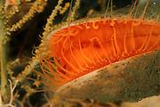 [captive] The large clam Acesta excavata, <br /> a common member of the Norwegian Lophelia-associated community Trondheimfjord, North Atlantic Ocean, Norway | Diese imposante, bis zu 20 cm gro&szlig;e Muschelart (Acesta excavata) lebt nur im Tiefwasser, und ist ein typisches Mitglied der mit Lophelia-Riffen assoziierten Lebensgemeinschaft.