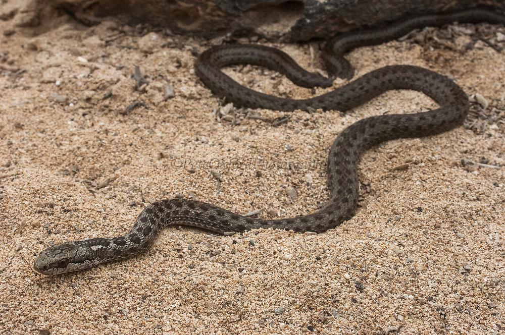 Santa Fe Snake (Alsophis dorsalis)<br /> Santa Fe Island, Galapagos, ECUADOR.  South America<br /> ENDEMIC TO GALAPAGOS and to Santa Fe Island