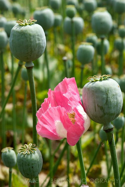 Opium poppy flowers grow on a field set on a floating gardens on Dal Lake.  Srinagar. Kashmir. India