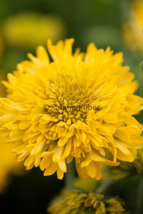 Gaillardia pulchella 'Sundance Yellow' - Indian blanket