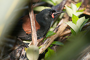 Saddleback are quite vulnerable to predation by mammals as it busies itself on the forest floor.  However, being now established on 11 offshore islands, the saddleback is no longer regarded as endangered.  This saddleback hides in at the base of a large flax.