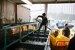 Fish monger transfers fresh fish from large bucket to aquariums at the Hong Kong Fish Market in China.